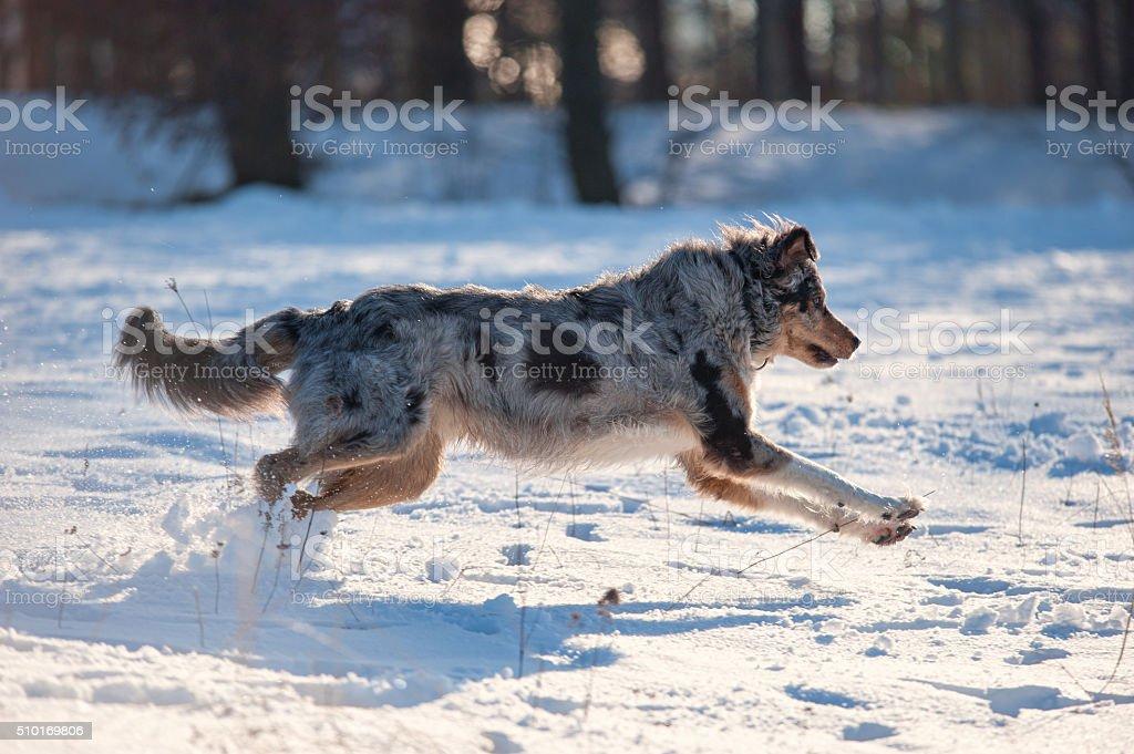 Australian Shepherd playing in Snow stock photo