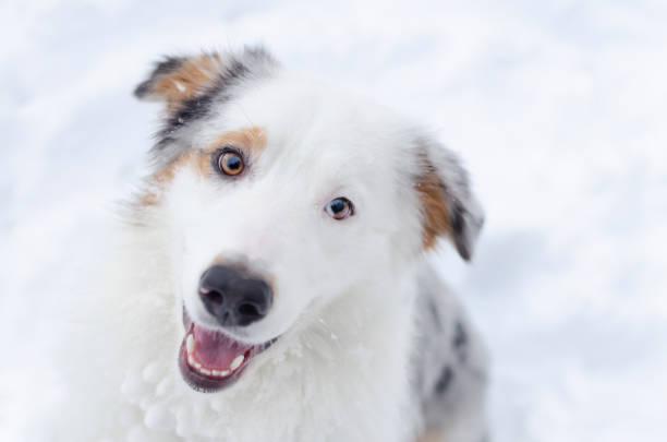Australian shepherd portrait young energetic dog walks picture id1135835123?b=1&k=6&m=1135835123&s=612x612&w=0&h=ecwr8y9aeqw7t u9xhoy2nogj4 78fhq0l1l 5qxmv8=