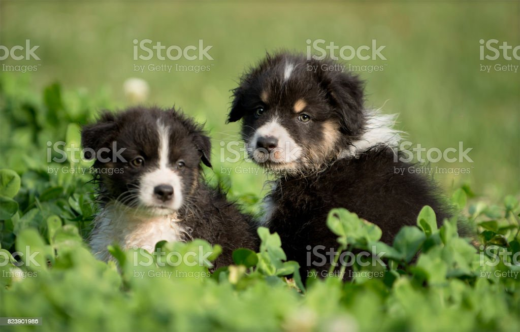Australian Shepherd puppies outdoors stock photo