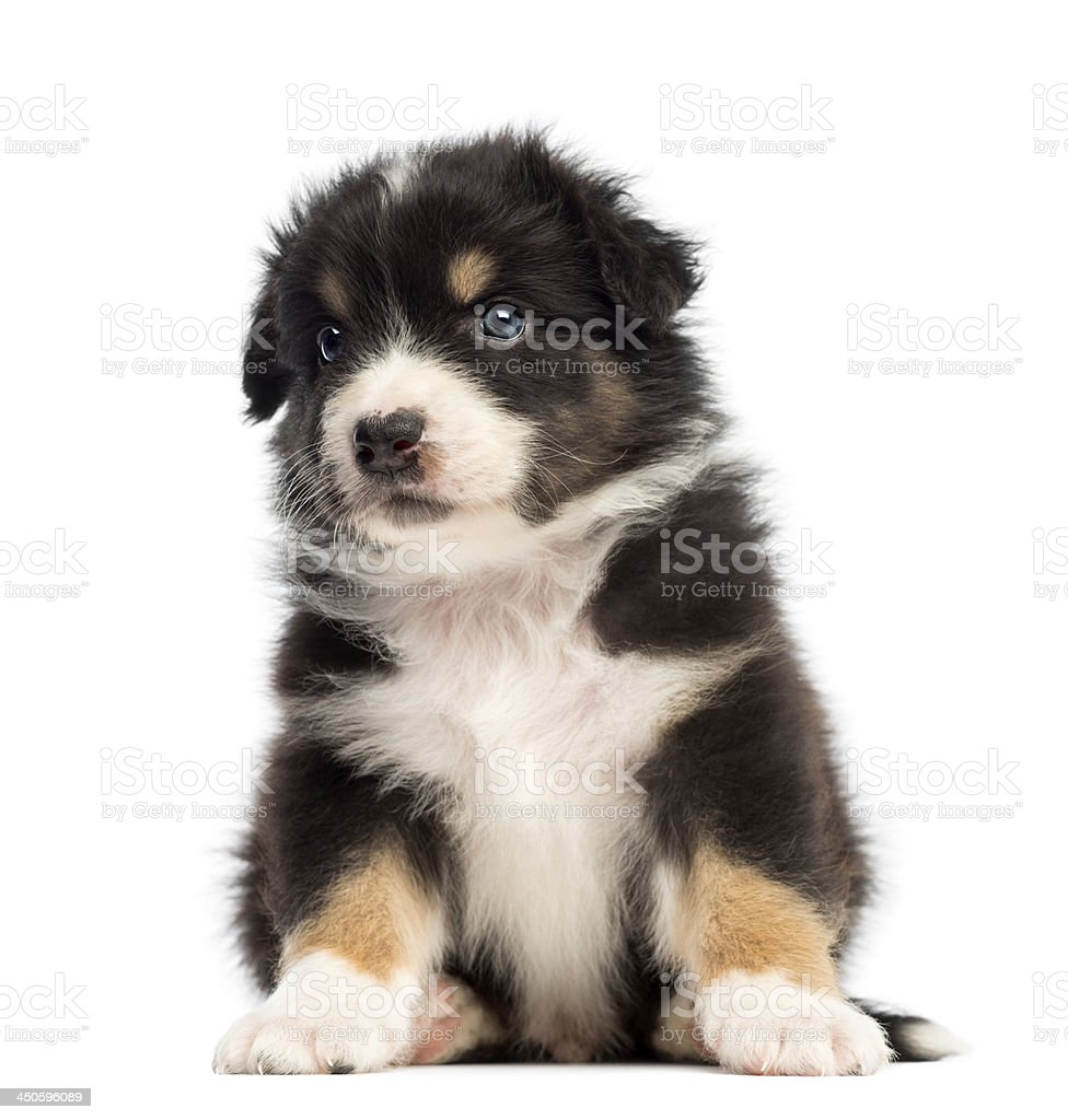 Australian Shepherd puppy, 1 months and 3 days old stock photo