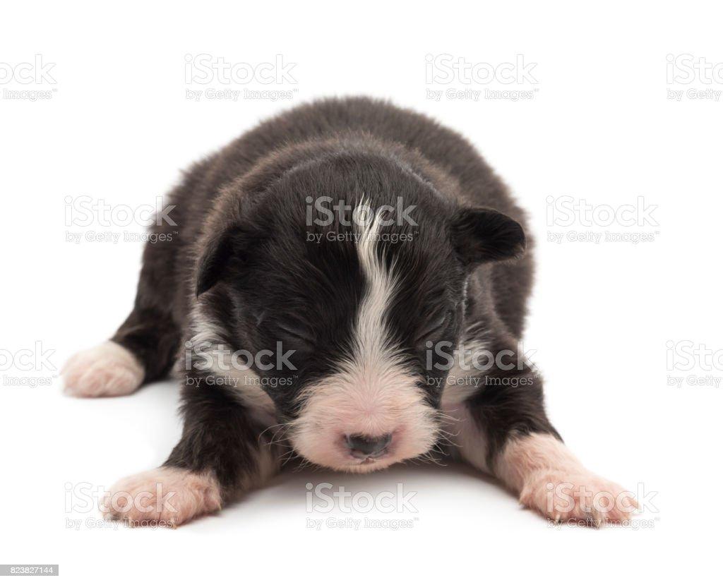 Australian Shepherd puppy, 14 days old, lying against white background stock photo