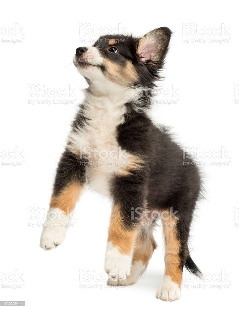 Australian Shepherd puppy, 2 months old, leaping against white background stock photo
