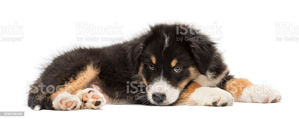 Australian Shepherd puppy, 2 months old, lying against white background stock photo