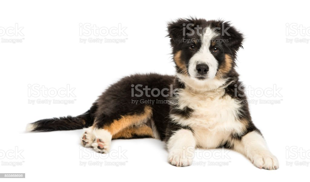 Australian Shepherd puppy, 3 months old, lying and looking at camera against white background stock photo
