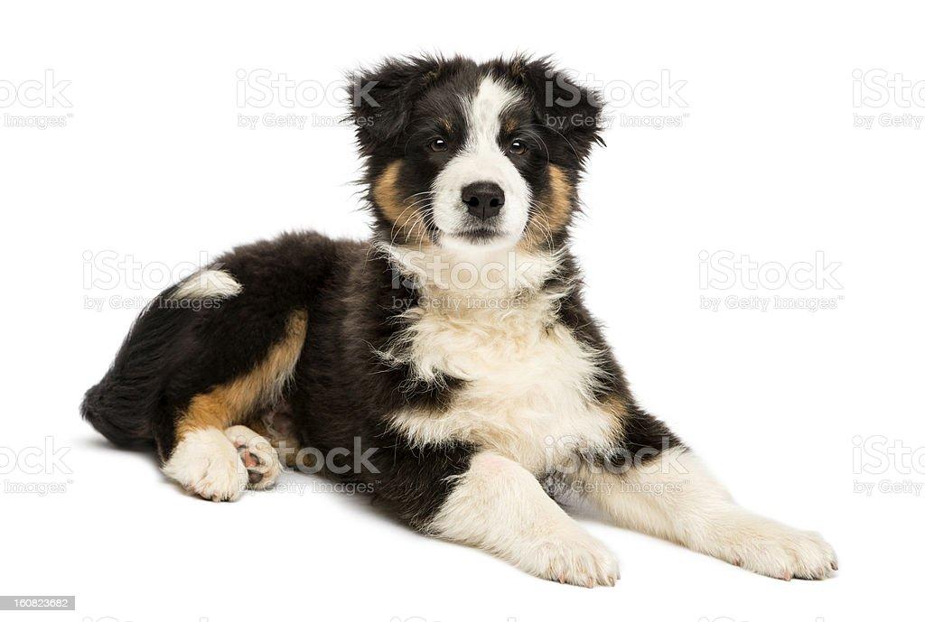 Australian Shepherd puppy, 3 months old, lying royalty-free stock photo