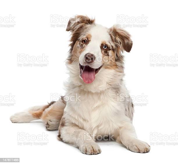 Australian shepherd puppy 6 months old portrait against white picture id147877485?b=1&k=6&m=147877485&s=612x612&h=cobdohpna2odcxp sxmehhn6vmk6sdqmnhp0ykkt7m8=