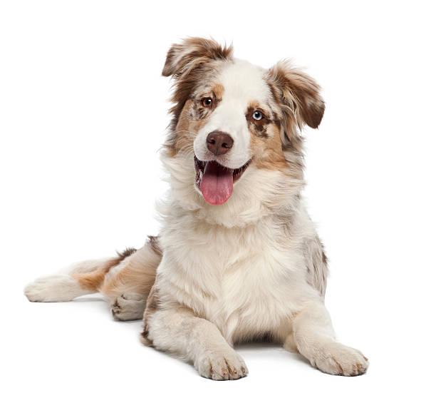 Australian shepherd puppy 6 months old portrait against white picture id147877485?b=1&k=6&m=147877485&s=612x612&w=0&h=dwmmasxqgkyu2zmzrqlvfciiftdaoqsjpm6prwa9c0c=
