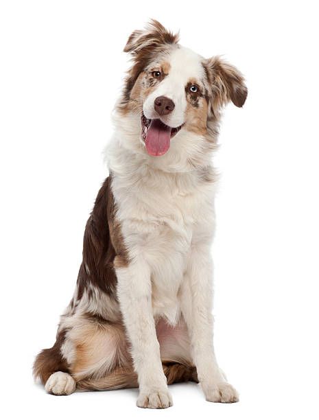 Australian Shepherd puppy, 6 months old, sitting against white background Australian Shepherd puppy, 6 months old, sitting against white background australian shepherd stock pictures, royalty-free photos & images