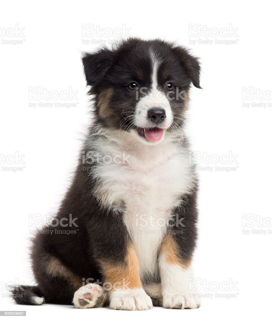 Australian Shepherd puppy, 8 weeks old, sitting and looking away stock photo