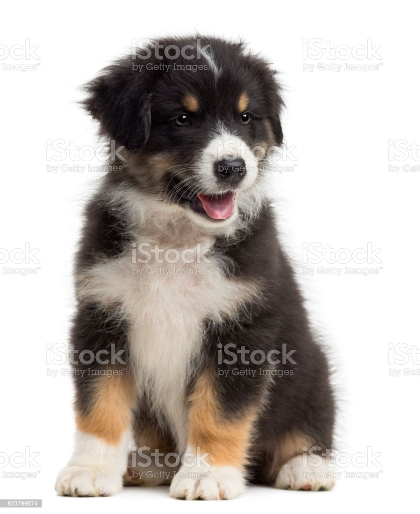 Australian Shepherd puppy, 8 weeks old, sitting and looking away against white background stock photo