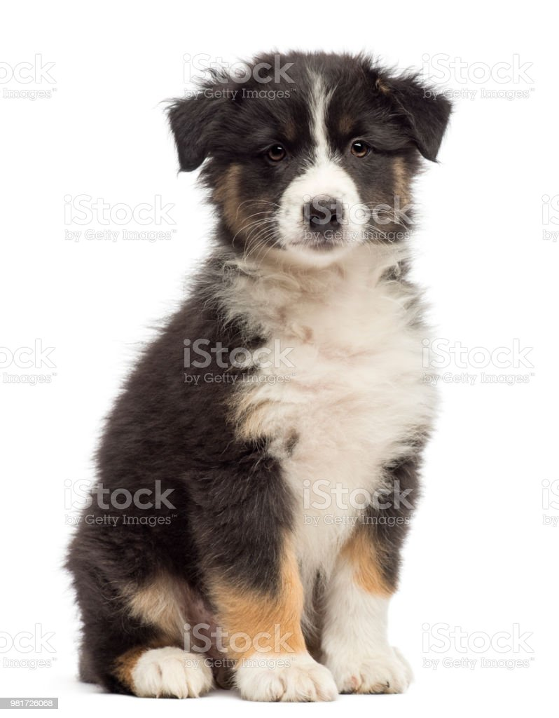 Australian Shepherd puppy, 8 weeks old, sitting and portrait against white background stock photo