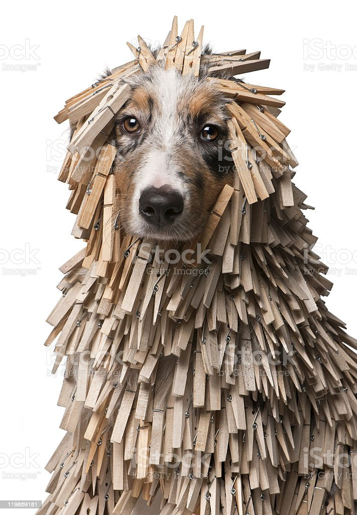 Australian Shepherd puppy covered with Clothespins, white background. royalty-free stock photo
