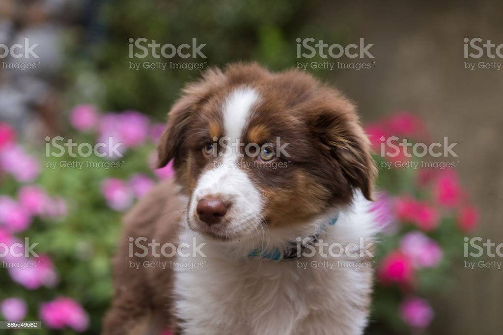 Australian shepherd puppy in front of green ferns and pink flowers stock photo