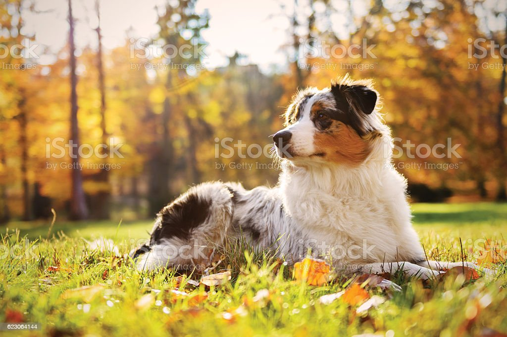 Australian Shepherd Puppy In The Autumn Forest Stock Photo - Download Image  Now