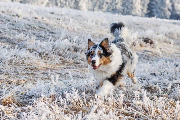 Australian shepherd puppy in winter picture id640027102?b=1&k=6&m=640027102&s=612x612&w=0&h=vf8ly z2ok8mfh3sbc3k5trbh0cb3f1km1cv6fapq4y=