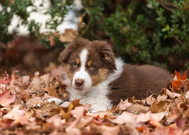 Australian shepherd puppy laying in the fall leaves stock photo