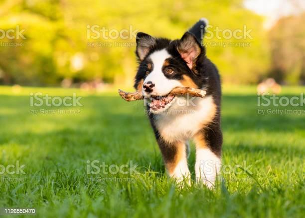 Australian shepherd puppy picture id1126550470?b=1&k=6&m=1126550470&s=612x612&h=3avivt8s11n1rrrguaq9krglhxswmxfoe asktkdhk4=
