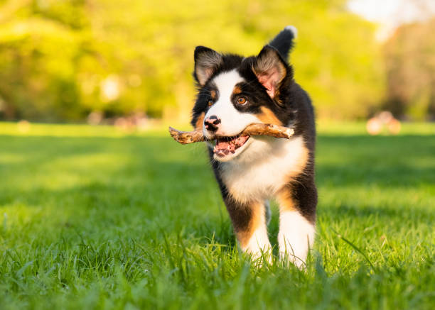 Australian shepherd puppy Happy Aussie dog with stick runs on meadow with green grass in summer or spring. Beautiful Australian shepherd puppy 3 months old running towards camera. Cute dog enjoy playing at park outdoors. australian shepherd stock pictures, royalty-free photos & images