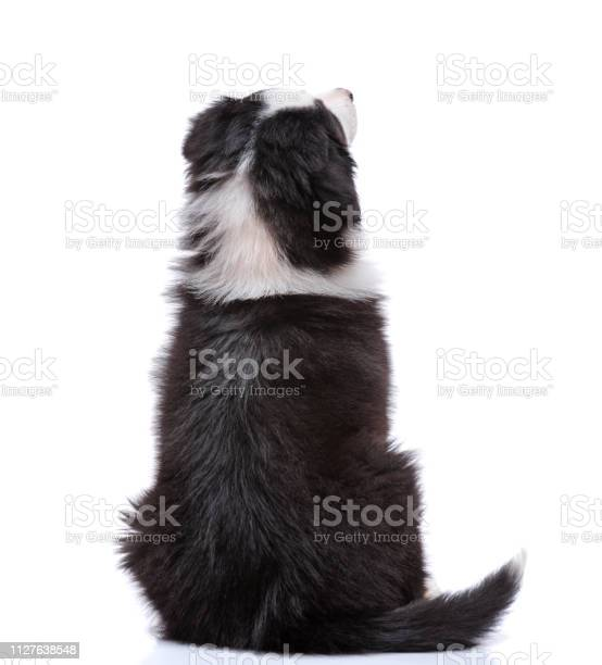 Australian shepherd puppy picture id1127638548?b=1&k=6&m=1127638548&s=612x612&h=kkabhnihkzufa3w6vxf uwah5pvucy4b93f4vh7 k7g=