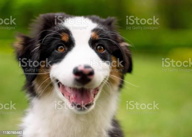Australian shepherd puppy picture id1130765482?b=1&k=6&m=1130765482&s=612x612&h=sqp1jxrtbxhiwvfhq cu6ozgoaqvvcys4ecnboq4ers=