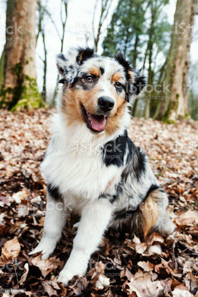 Australian Shepherd Puppy Stock Photo Download Image Now Istock