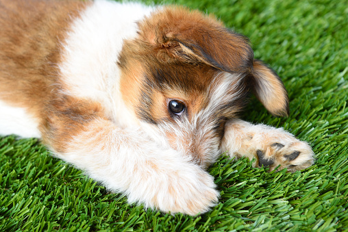 Dog: Australian Shepherd Puppy laying on artificial grass surface.