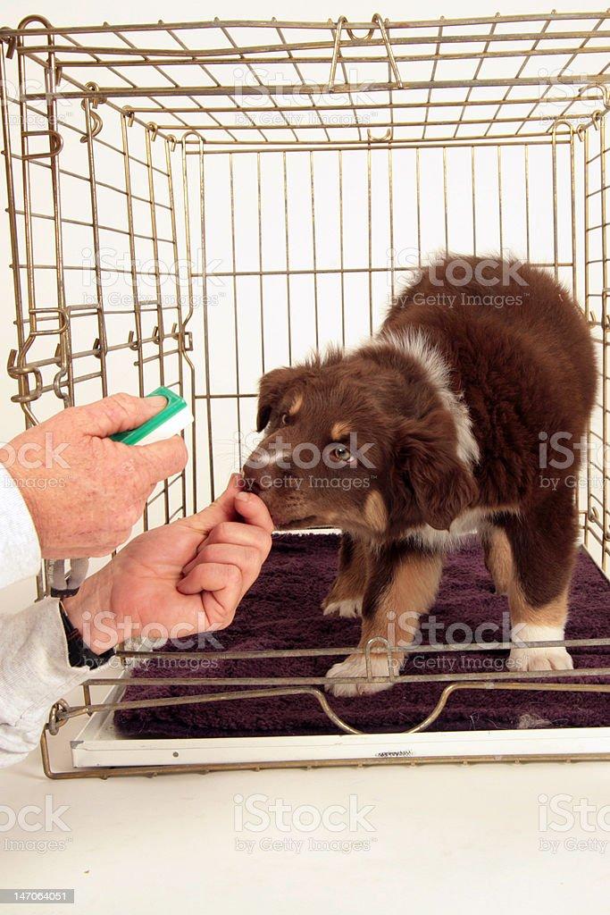 Australian Shepherd Puppy stock photo