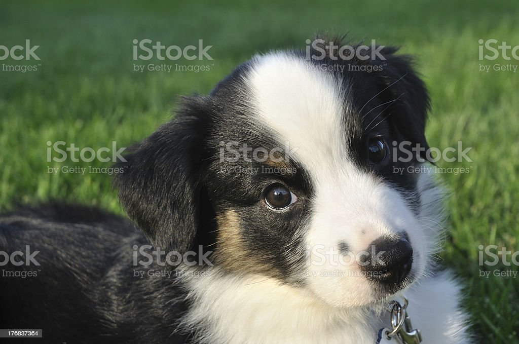 Australian Shepherd Puppy Stock Photo Download Image Now Istock