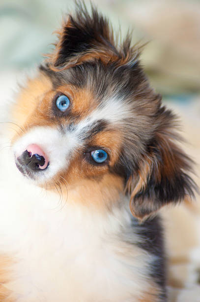 Australian Shepherd puppy Adorable Australian Shepherd puppy with stunning blue eyes looks at the camera.  rm australian shepherd stock pictures, royalty-free photos & images