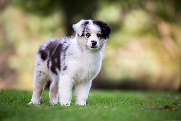 Australian Shepherd Puppy A blue merle Australian Shepherd puppy with blue eyes standing on green grass with a soft focus gold coloured natural background looking at the camera. australian shepherd stock pictures, royalty-free photos & images