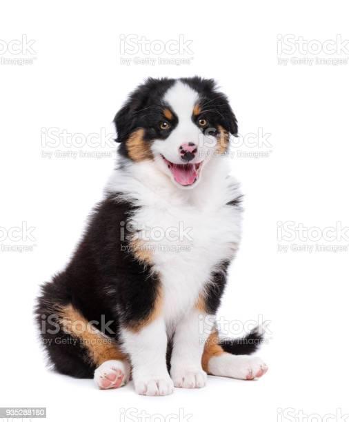 Australian shepherd puppy picture id935288180?b=1&k=6&m=935288180&s=612x612&h=th iim cl0guhny4isnoxmqen1uybhdrvba8jztzxv8=