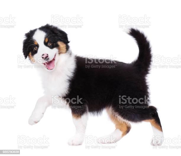 Australian shepherd puppy picture id935290638?b=1&k=6&m=935290638&s=612x612&h=pb4r24mfwsw2f42ee74g f4pwnvwgd4g3f tinwwrpe=