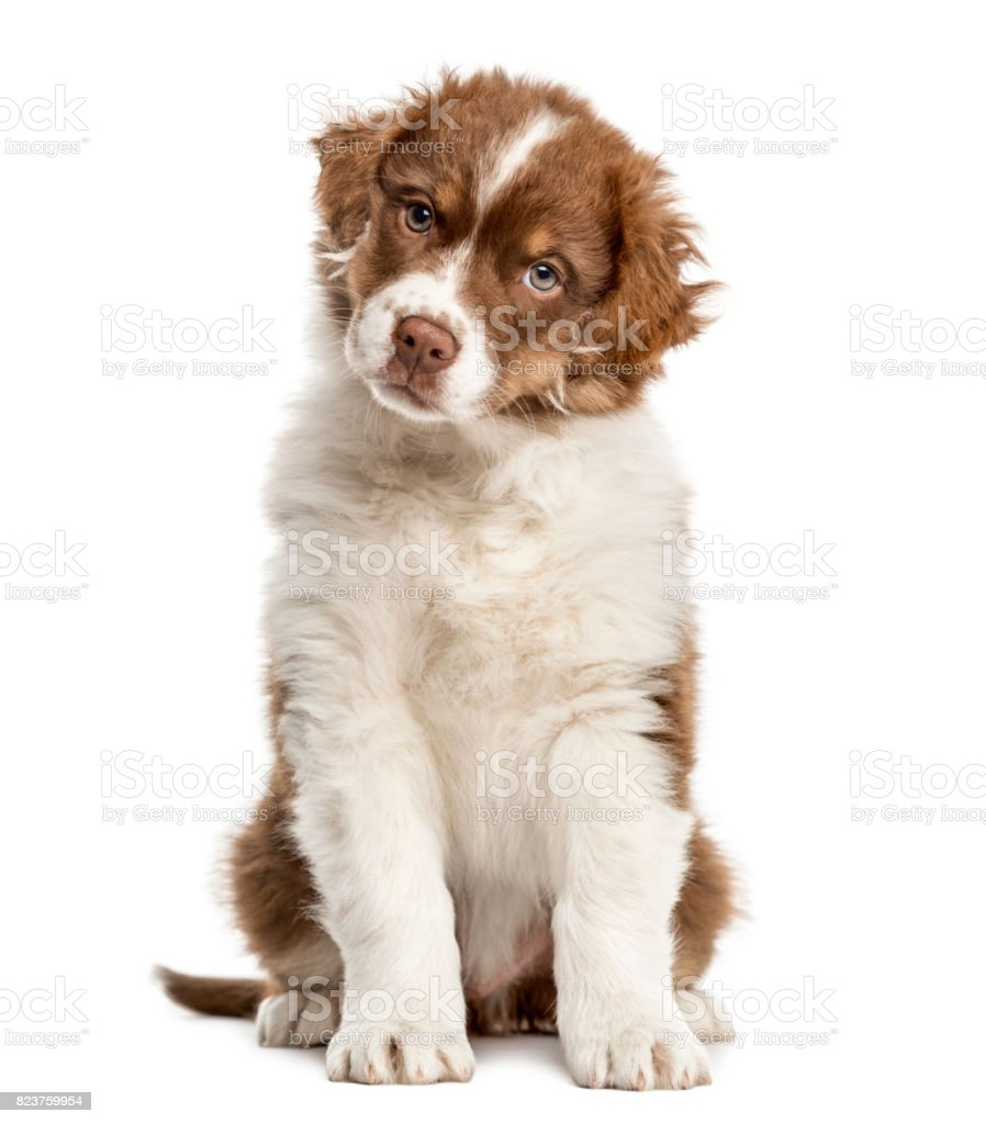 Australian Shepherd Puppy Sitting 2 Months Old Isolated On White Stock Photo Download Image Now Istock