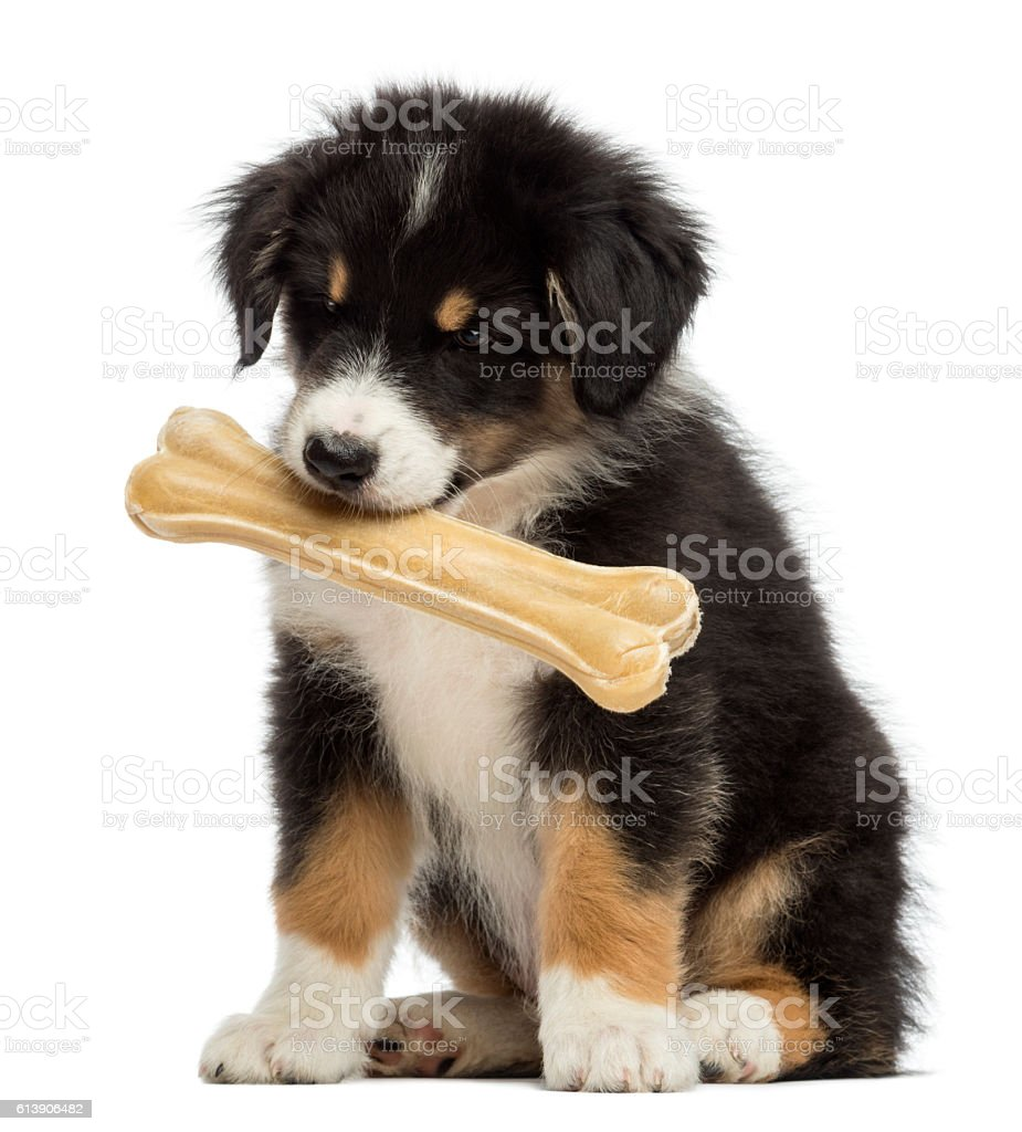 Australian Shepherd puppy sitting and holding knucklebone in its mouth stock photo