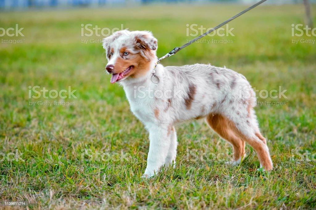 Australian Shepherd Puppy Standing On Green Grass Background Stock Photo Download Image Now Istock
