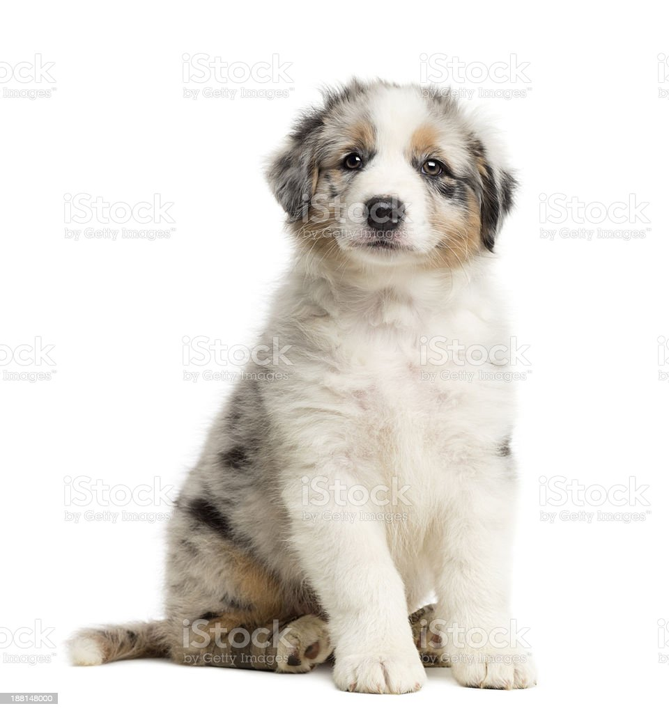 Australian Shepherd Puppy With Bandage 8 Weeks Old Sitting Stock Photo -  Download Image Now