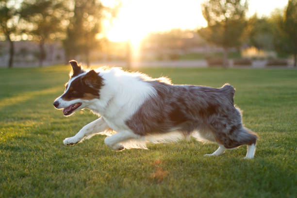 Australian Shepherd running on grass stock photo