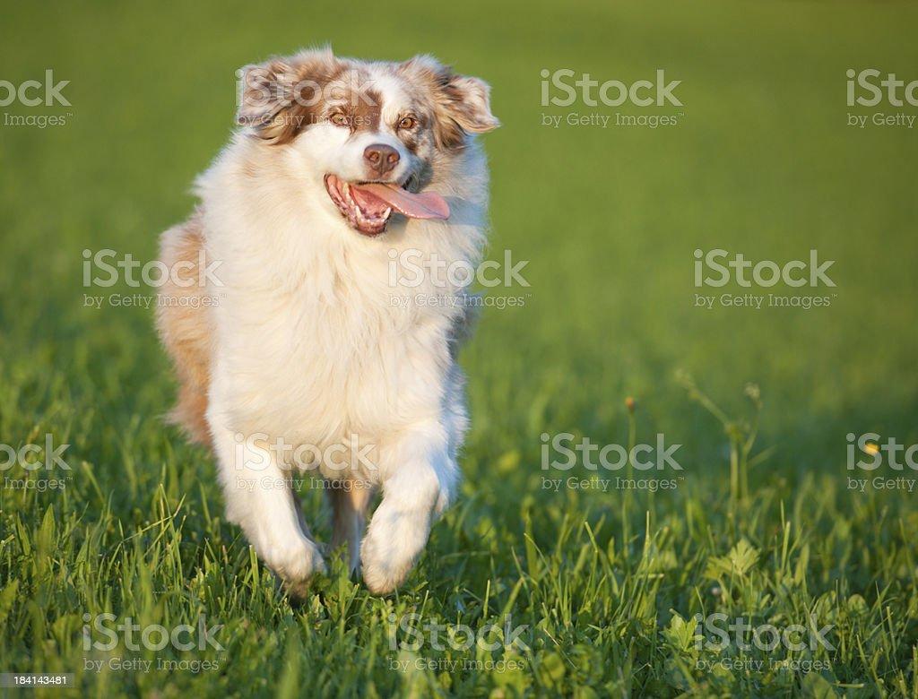 Australian Shepherd running outside in the evening sun (XXXL) royalty-free stock photo