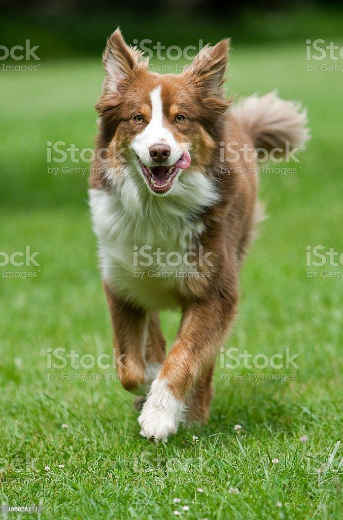 Australischer Shepherd läuft – Foto