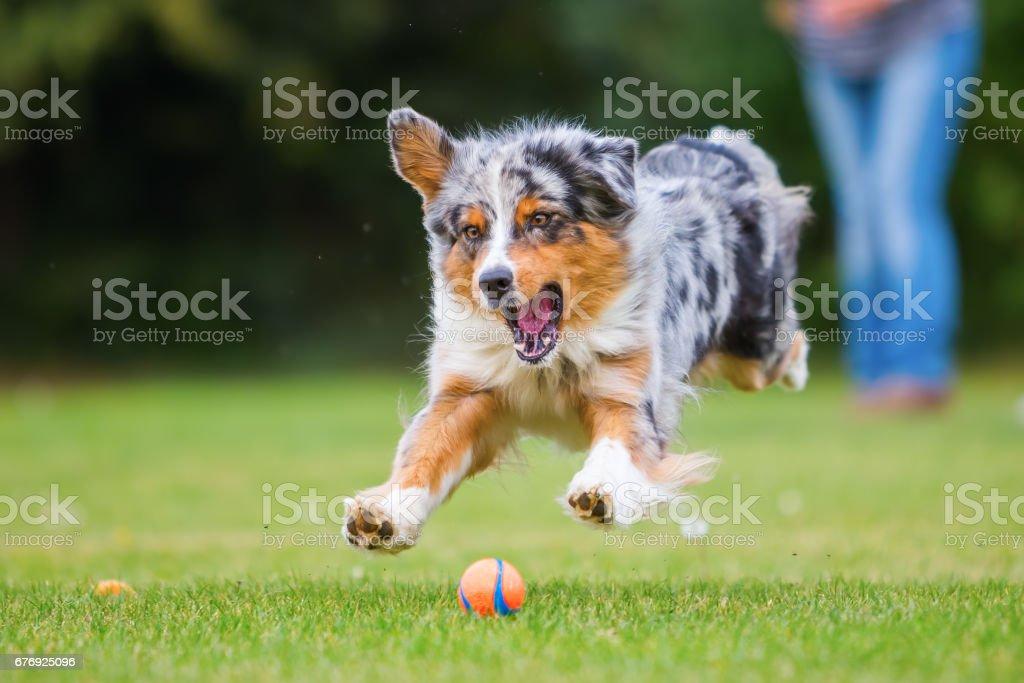 Australian Shepherd läuft für einen ball – Foto