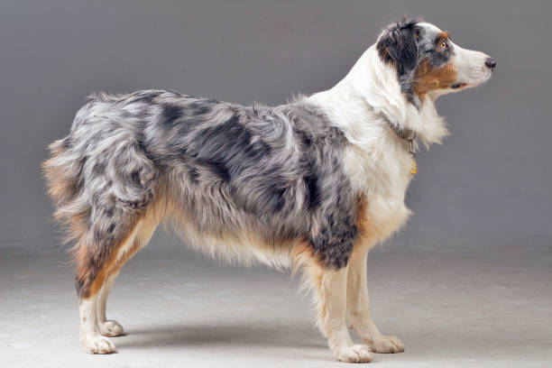 Australian Shepherd Side Body Shot in Studio stock photo
