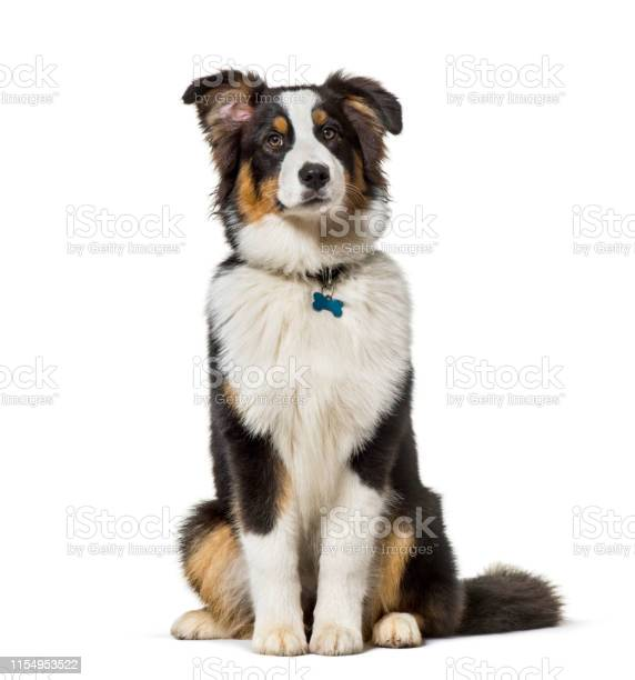 Australian shepherd sitting against white background picture id1154953522?b=1&k=6&m=1154953522&s=612x612&h=m21zhguh4wh4crtlfnguge  6i2dipndndhub2p2pm4=