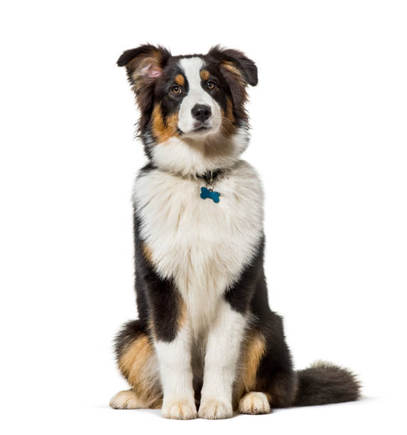 Australian shepherd sitting against white background picture id1154953522?b=1&k=6&m=1154953522&s=612x612&w=0&h=ktdgfyygjsou6j1mabzyl4vn95xgsch xjxryb8blnc=