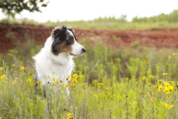 Australian Shepherd sitting in yellow field of flowers stock photo