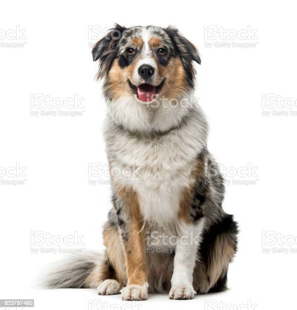Australian shepherd sitting isolated on white 1 year old picture id823787460?b=1&k=6&m=823787460&s=612x612&h=afpmhvhsbsszq5npwnrwbkz y5iptjmwtj7eqlnkwug=