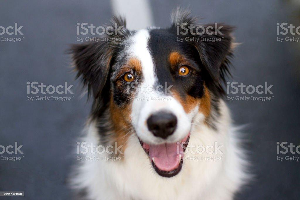 Australian Shepherd Smiling Headshot stock photo