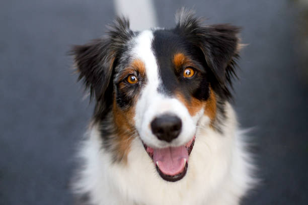Australian Shepherd Smiling Headshot stock photo