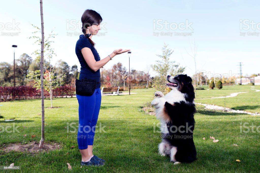 Australian Shepherd Training Park stock photo