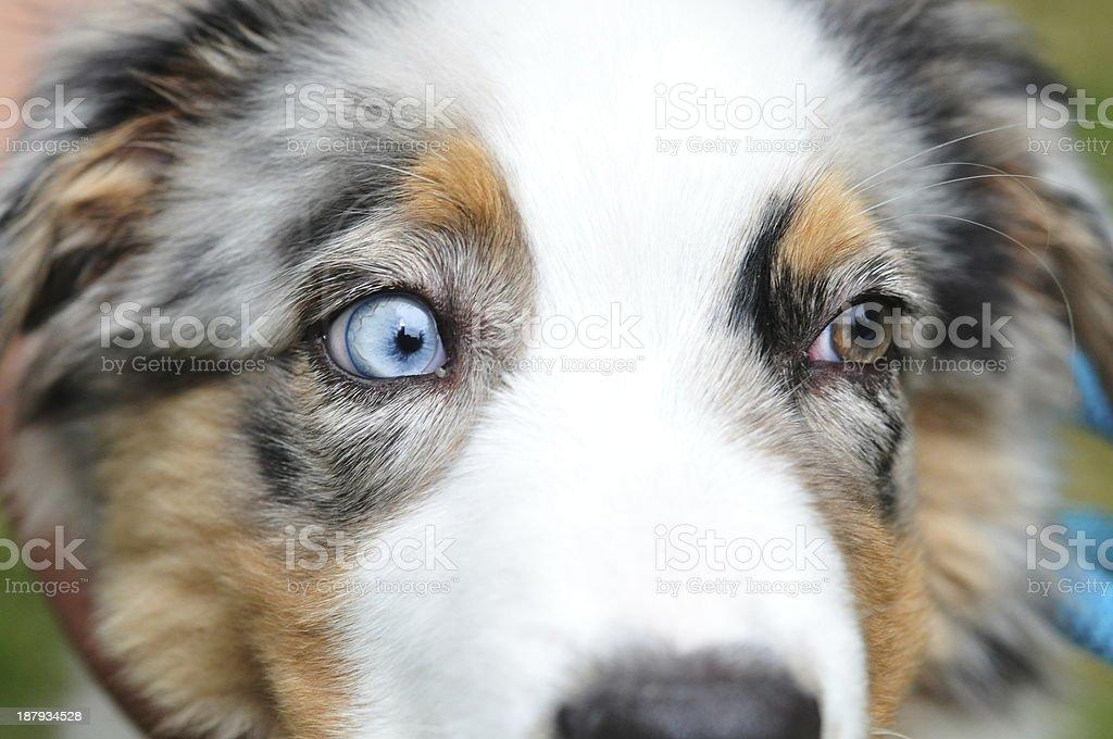 Australian Shepherd two colored eyes stock photo