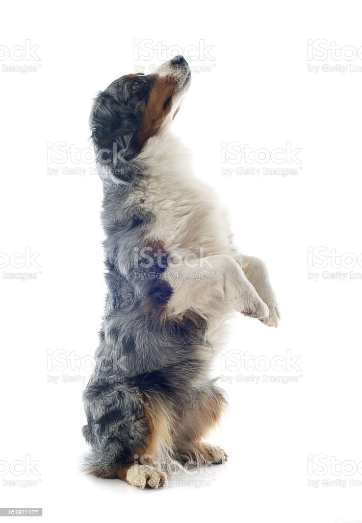 australian shepherd upright royalty-free stock photo